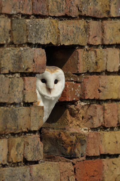 Barn Owl - Birds  -  Captive
