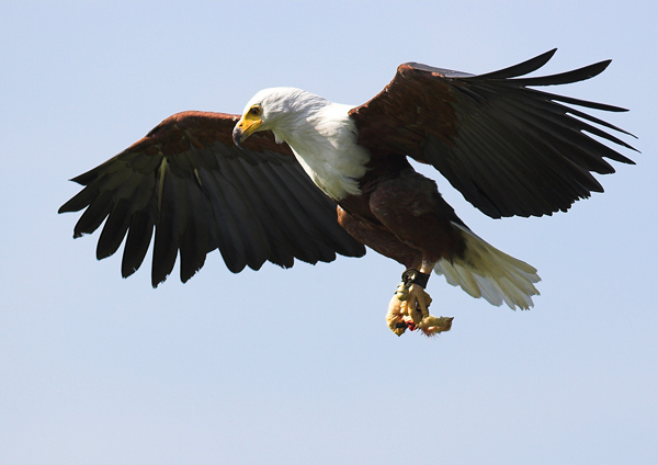 African Fish Eagle - Birds  -  Captive