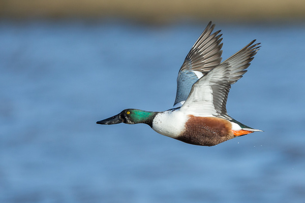 Northern Shoveler - Birds - Wild