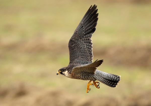 Peregrin Falcon - Birds  -  Captive