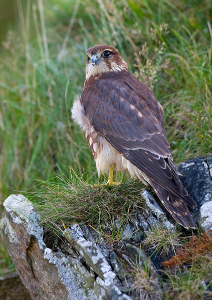 Merlin - Birds  -  Captive