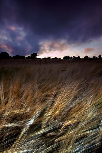 Barley Field - UK Scenery