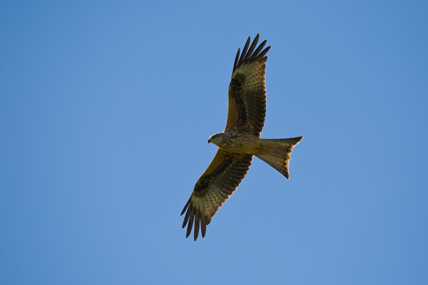 Red Kite - Birds