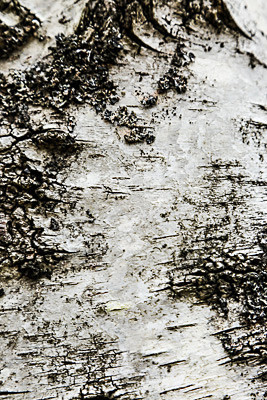 Birch Bark - Abstract