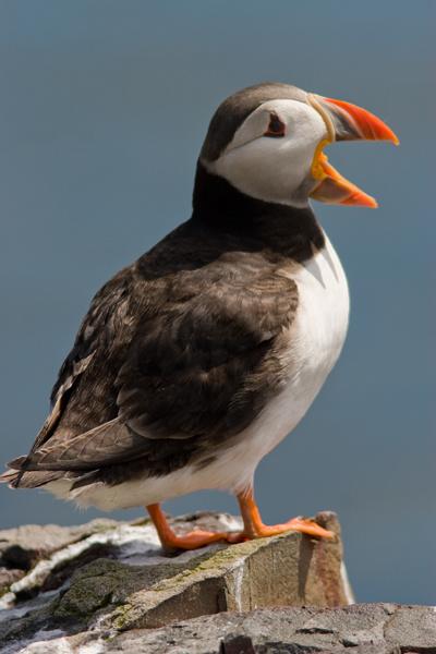 Puffin - Birds
