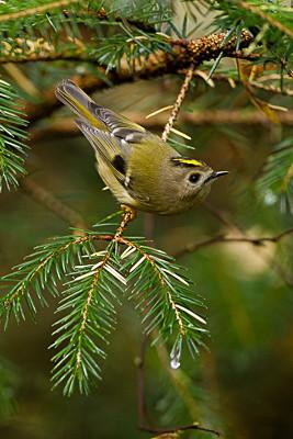 Goldcrest - Birds