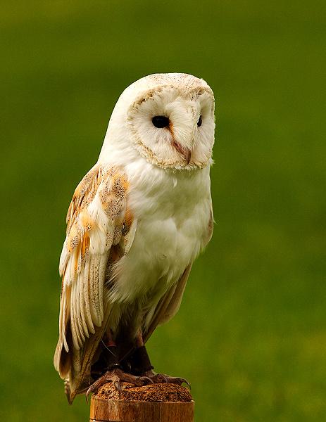 Barn Owl (Captive) - Birds