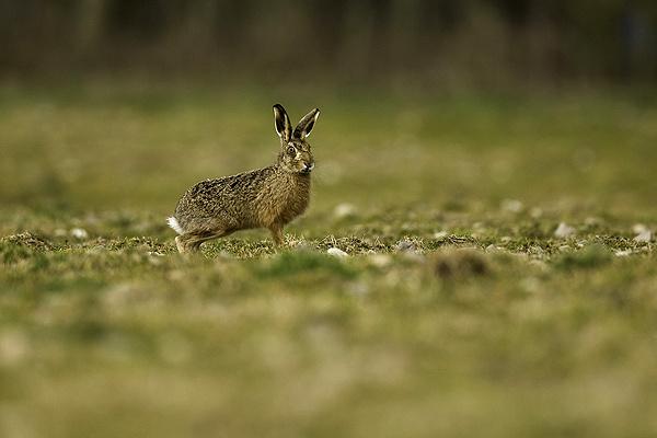 Brown Hare - Wildlife
