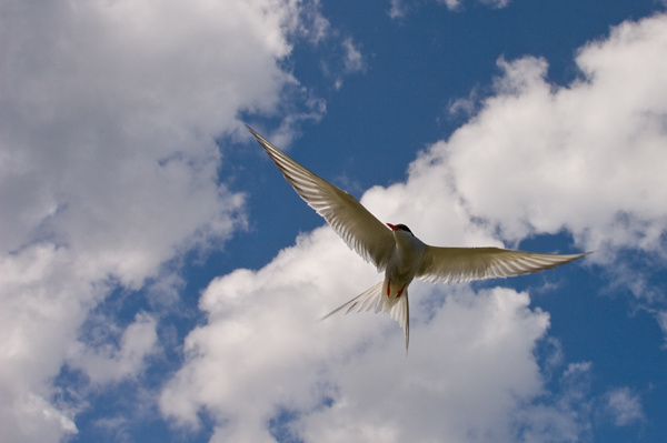 Arctic Tern - Birds