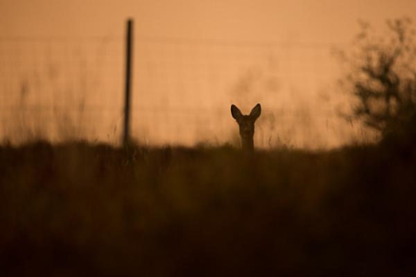 Backlit Roe Deer - Wildlife