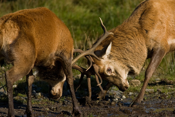 Red Deer Rut - Wildlife