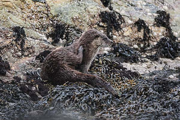Eurasian Otter, Isle of Mull - Wildlife