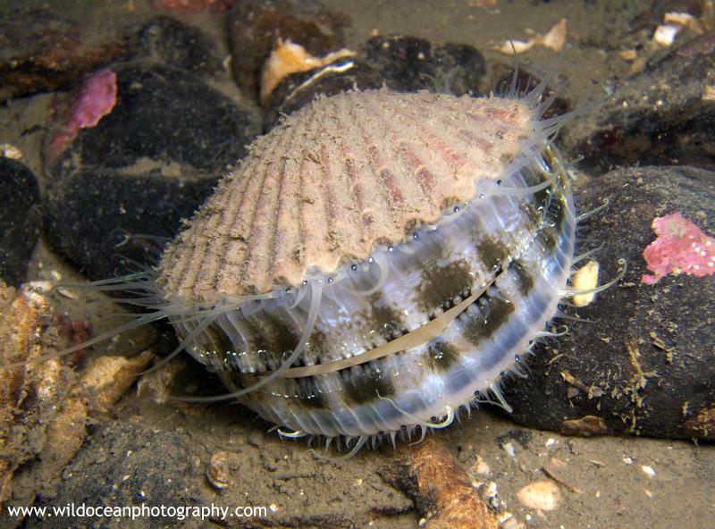 UML016: Queen Scallop - Marine Life