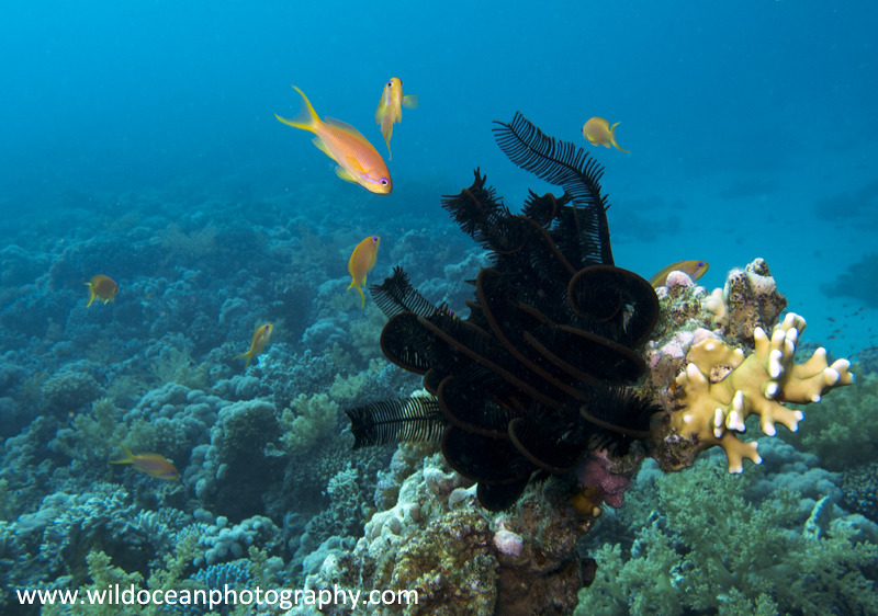 RS009: Crinoid - Red Sea / Sinai Peninsula