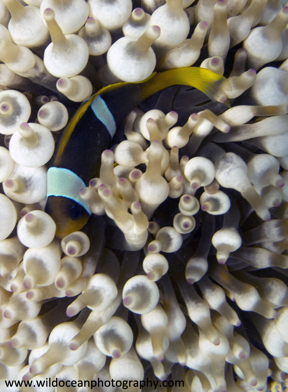 RS019: Anemonefish in anemone - Red Sea / Sinai Peninsula