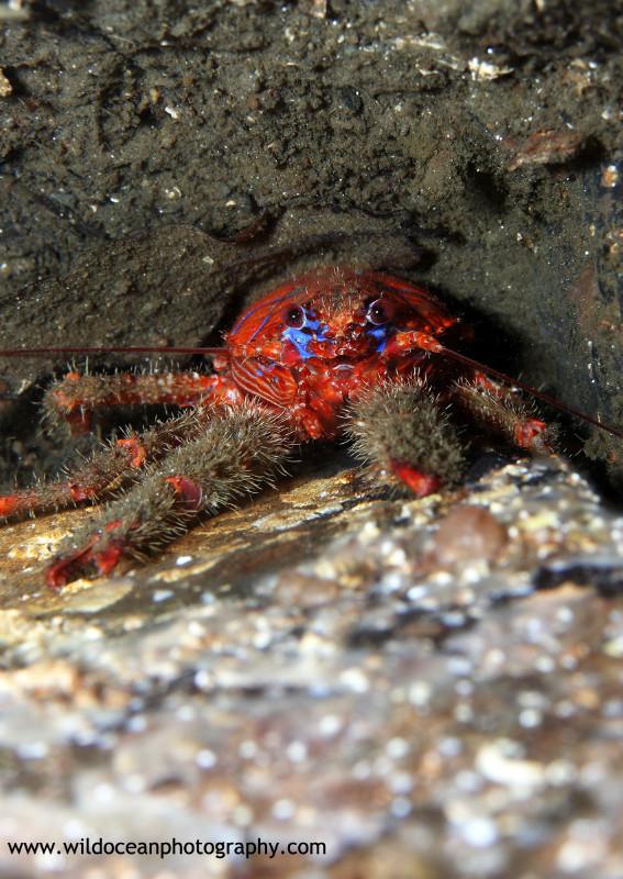 UML018; Galathea strigosa - Marine Life