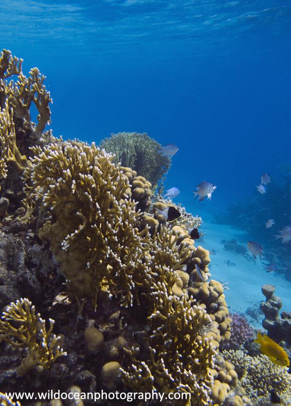 RS011: Fire Coral - Red Sea / Sinai Peninsula