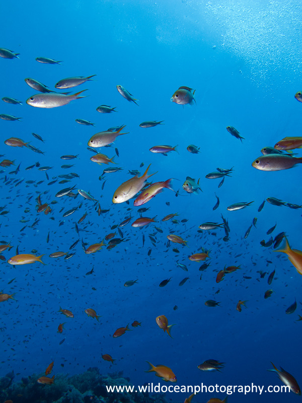 RS003: Anthias - Red Sea / Sinai Peninsula