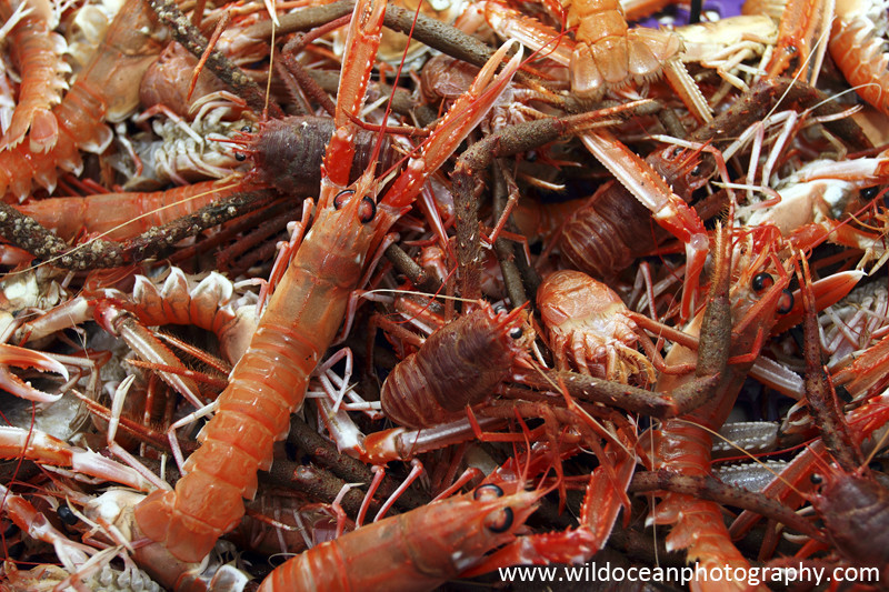 GSF008 - Langoustines & Squat lobsters - 'Creel to Meal' (Glasgow Science Festival)