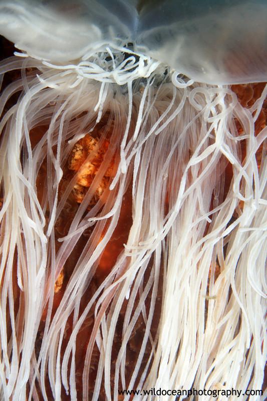 UML004: Lion's Mane - Marine Life