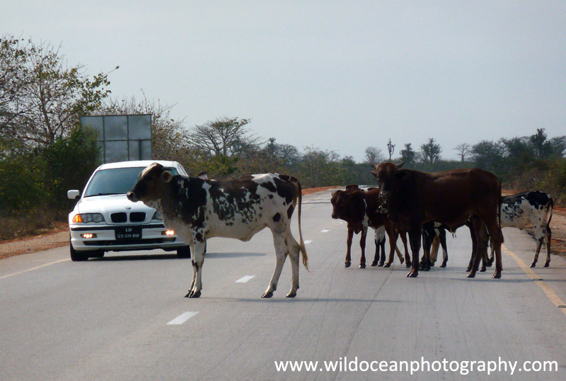 ANG004: Cows in road - Angola (W. Africa)