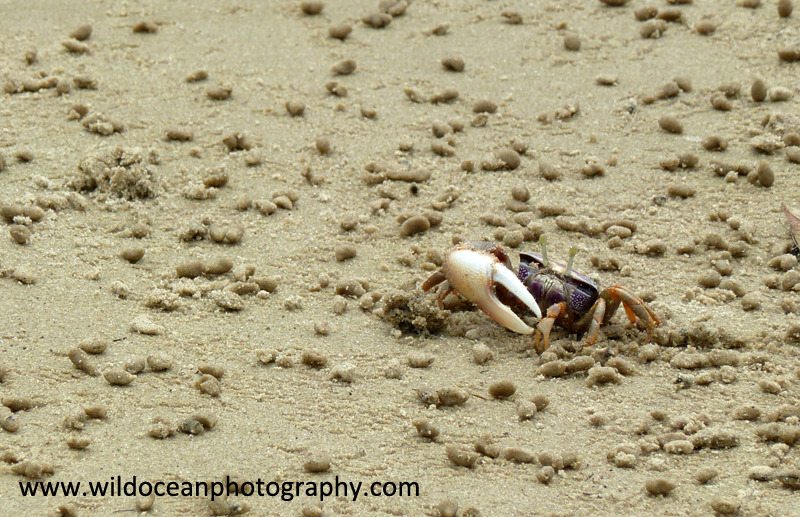 ANG007: Fiddler crab - Angola (W. Africa)