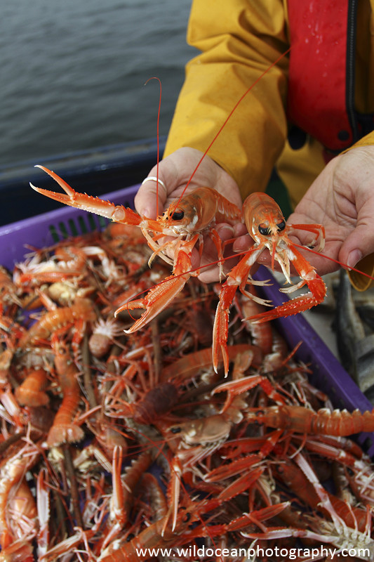 GSF007 - Langoustines in hands - 'Creel to Meal' (Glasgow Science Festival)