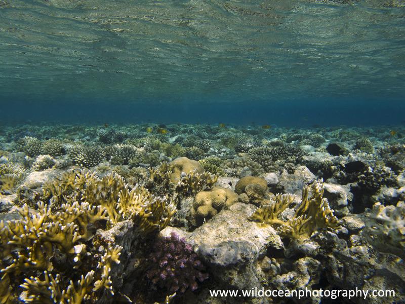 RS007: Reef flat - Red Sea / Sinai Peninsula