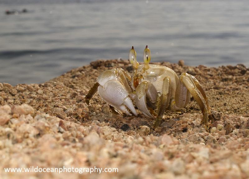 RS013: Ghost Crab - Red Sea / Sinai Peninsula