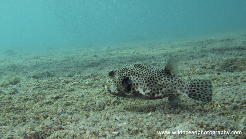 RS022: Pufferfish - Red Sea / Sinai Peninsula