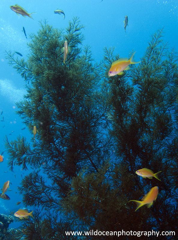 RS012: Anthias in tree - Red Sea / Sinai Peninsula