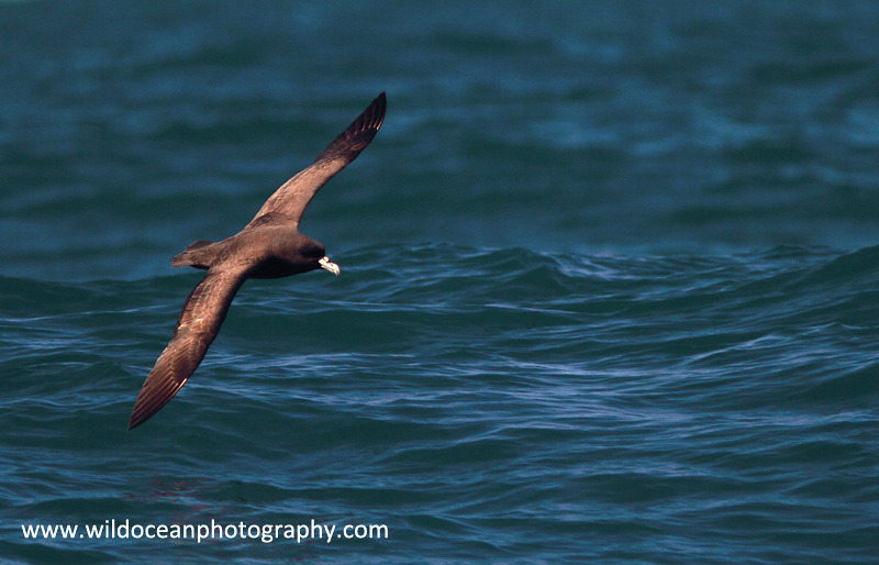 NZ024: Sooty Albatross - New Zealand (Wellington & South Island)