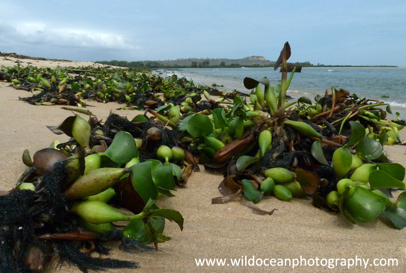 ANG020: Water hyacinth - Angola (W. Africa)