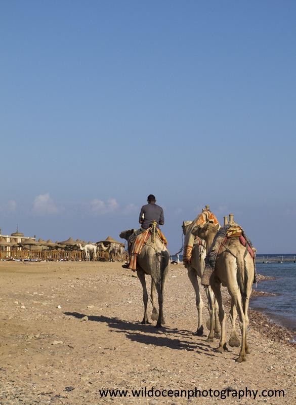 RS004: Camels - Red Sea / Sinai Peninsula