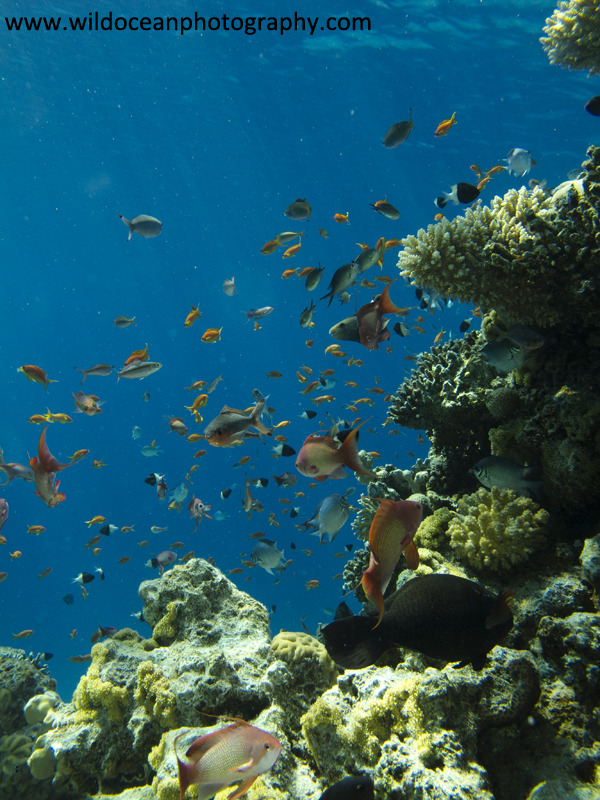 RS002: Reef Anthias - Red Sea / Sinai Peninsula