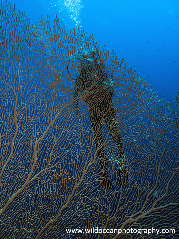 RS028: Diver & seafan - Red Sea / Sinai Peninsula