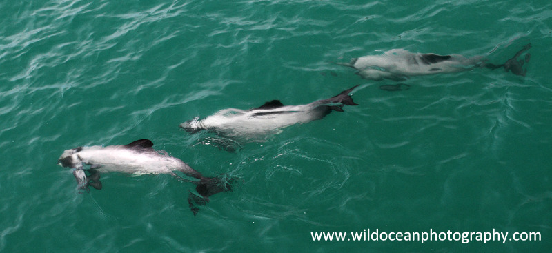 NZ020: Hector's dolphins - New Zealand (Wellington & South Island)