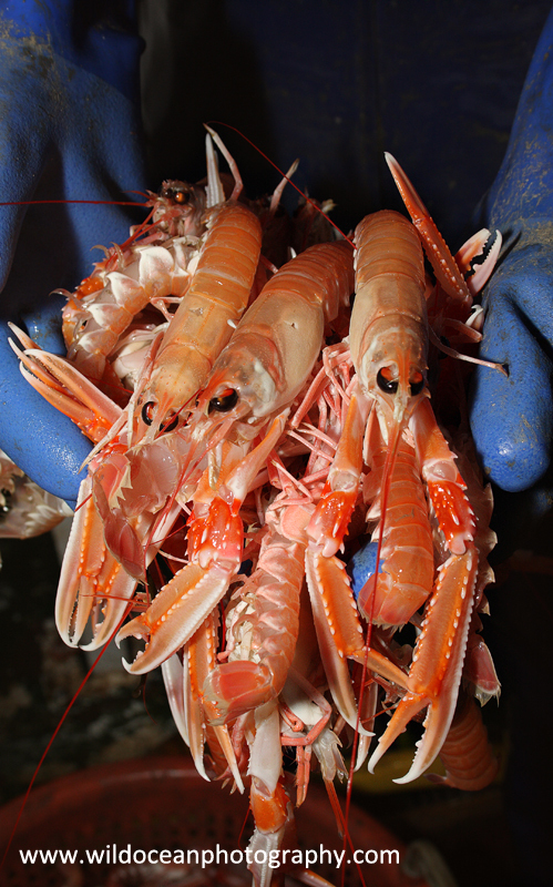 HTF004: Langoustines - Trawl Fisheries