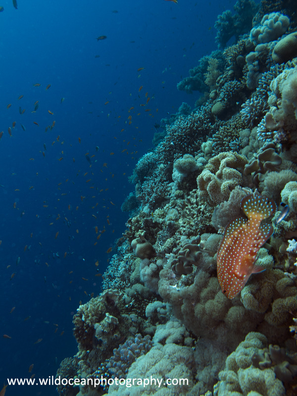 RS008: Coral Wrasse - Red Sea / Sinai Peninsula