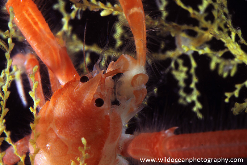 IDD005: Squat lobster - Deep Sea Species