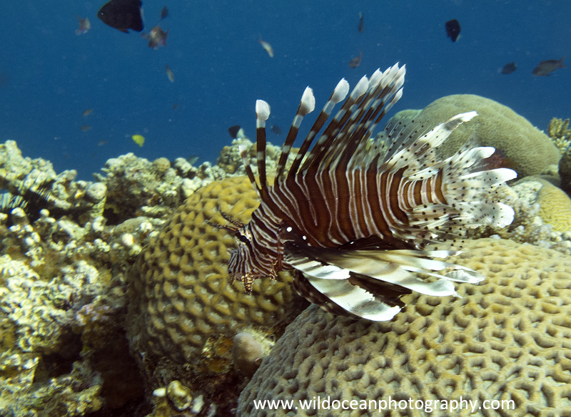 RS017: Lionfish - Red Sea / Sinai Peninsula