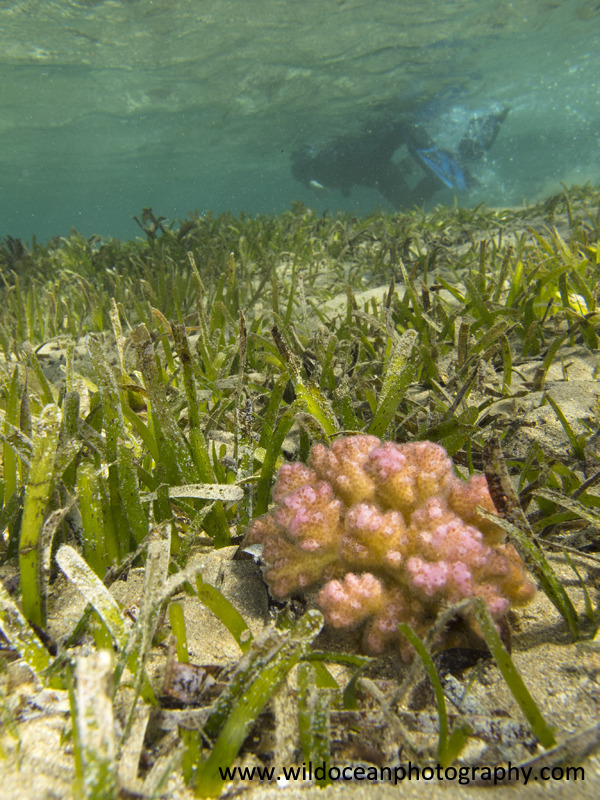 RS024: Raspberry seagrass - Red Sea / Sinai Peninsula