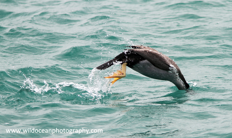 NZ012: Cormorant Diving - New Zealand (Wellington & South Island)