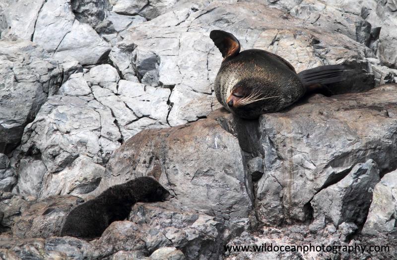 NZ018: Fur seals: mother & pup - New Zealand (Wellington & South Island)