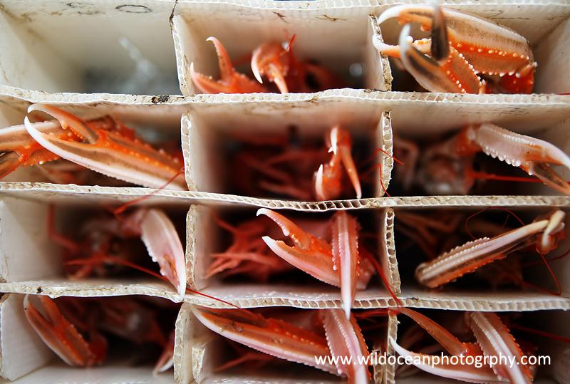 HCF002: Live langoustines - Creel (Trap) Fisheries