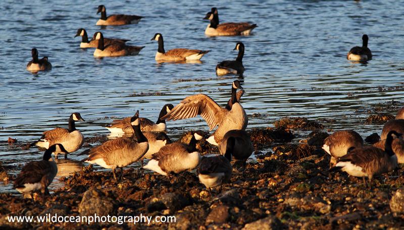 NZ006: Canada Geese - New Zealand (Wellington & South Island)