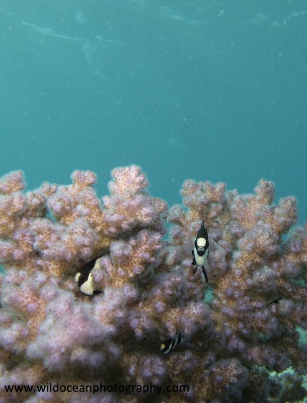 RS016: Humbug damselfish - Red Sea / Sinai Peninsula