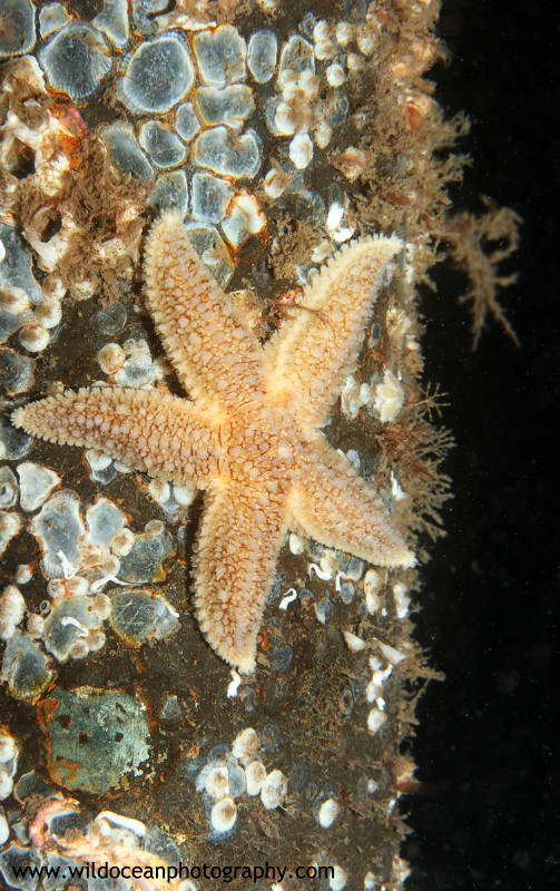 UML029: Common Starfish - Marine Life