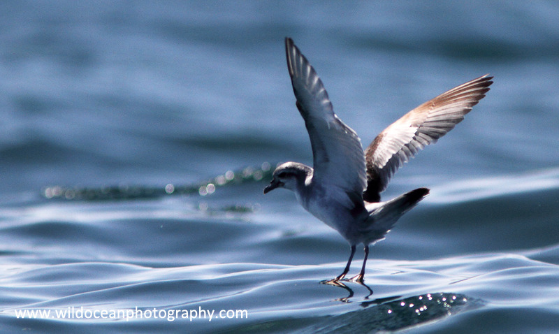 NZ016: Fairy Petrel - New Zealand (Wellington & South Island)