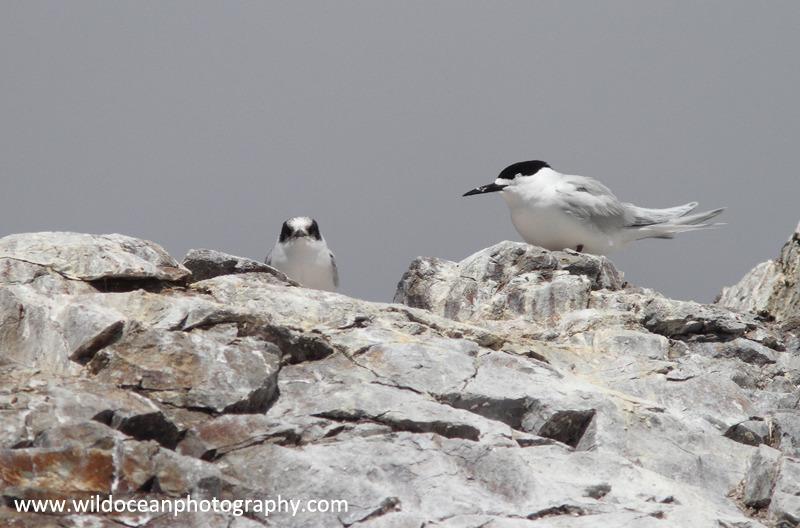 NZ030: Terns - New Zealand (Wellington & South Island)